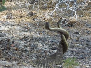 Rattlesnakes Mating